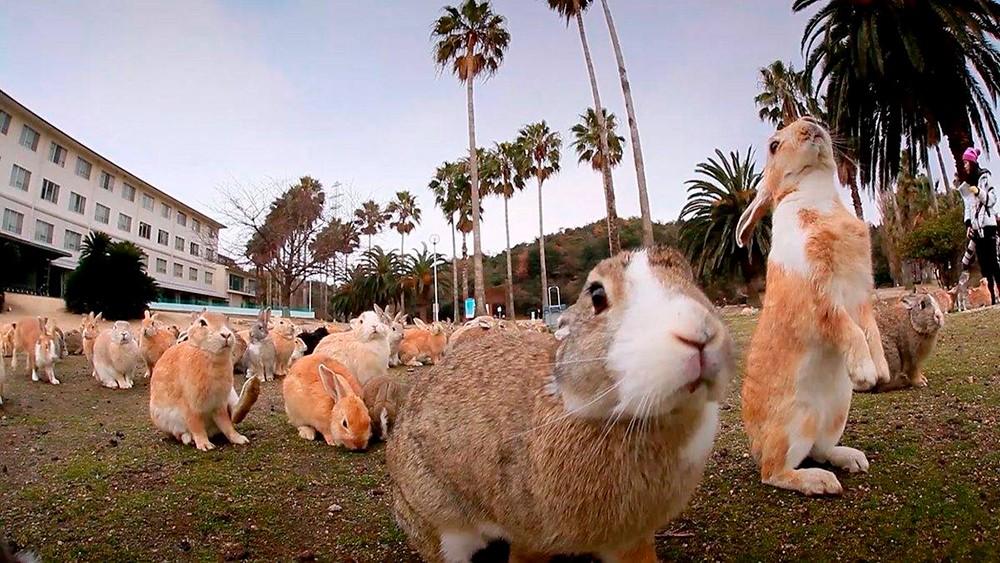 Японский остров кроликов Окуносима: тайны, как добраться, фото